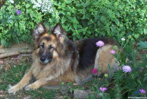 Eowyn in the garden, Alsation dog, flower border, german shepherd dog