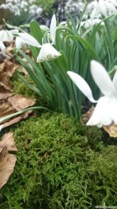 Galanthus Lady Beatrix Stanley, snowdrop, flowering bulbs, winter garden