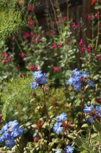 ceratostigma willmottianum, deciduous shrub, blue flowers, autumn foliage colour, ellen willmott