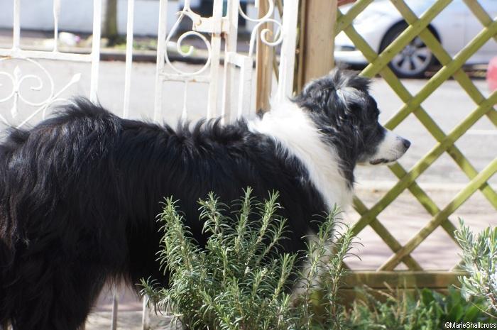 front garden, border collie, dog, trellis fence, rosemary, garden gate, sharpe