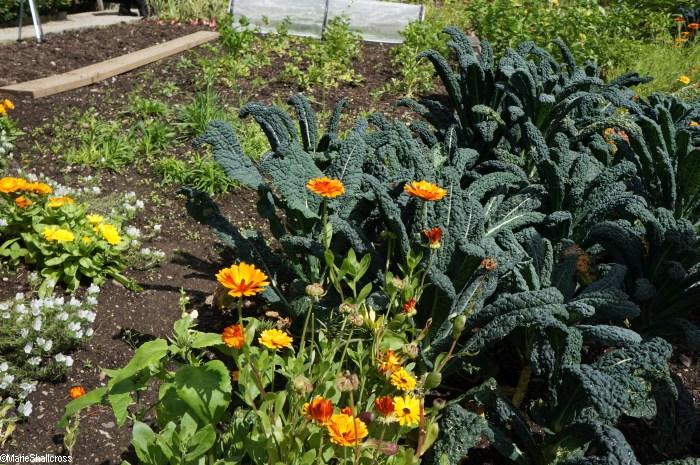Growing Methods for Gardeners | Garden Consultant ... Companion Planting Kale