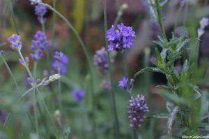 lavender angustifolia 'munstead', english lavender, herb, perennial, shrub, scented plant, gertrude jekyll