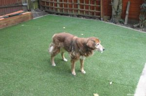 old dog, artificial lawn, artificial turf, dog friendly gardens, pet dogs, collie cross