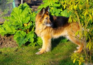 rhubarb, Alsation dog, raised bed vegetable garden, german shepherd dog, eowyn