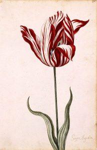 Semper Augustus Tulip, 17th century, tulipomania, most expensive tulip, netherlands, spring flowering bulbs