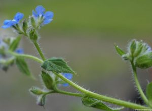 green alkanet, hairy stem, blue flowers, Pentaglottis sempervirens, perennial weed, hairy leaves, skin irritant