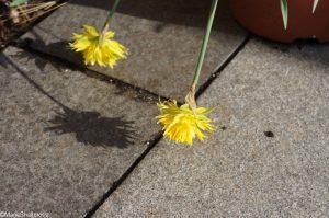 narcissus rip van winkle, granite patio, shadows