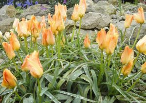 pale orange tulips, rock garden, emmetts garden, tulips, bulbs, spring flowering bulbs, kent
