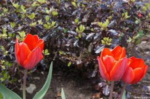 pittosporum tenuifolium tom thumb, red tulips, tulips, bulbs, spring flowering bulbs, evergreen shrub, lytes cary, cornwall