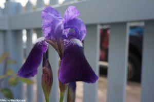 purple iris germanica, front garden design, plews truck
