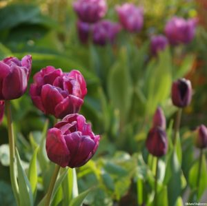 Tulips | Garden Designer | Garden Consultant | Planting Designs