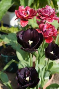 tulip paul scherer, tulip margarita, tulips, bulbs, spring flowering bulbs, double tulip, black tulip, red tulip