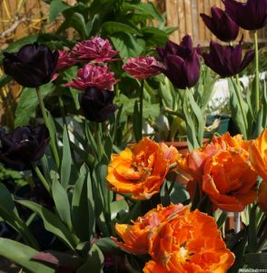 tulip prinses irene, tulip margarita, tulip paul scherer, tulip queen of night, tulips, bulbs, spring flowering bulbs, double tulip, black tulip, orange tulip, scented tulip