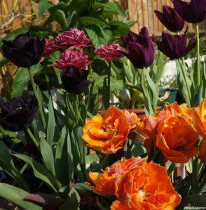 tulip prinses irene, tulip margarita, tulip paul scherer, tulip queen of night, tulips, bulbs, spring flowering bulbs, double tulip, black tulip, orange tulip, scented tulip