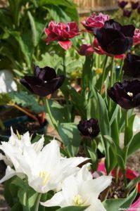 tulip tres chic, tulip paul scherer, tulip margarita, tulips, bulbs, spring flowering bulbs, lily flowered tulip, double tulip, white tulip, black tulip, red tulip