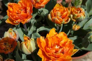 tulipa prinses irene, scented tulip, tulips, bulbs, spring flowering bulbs
