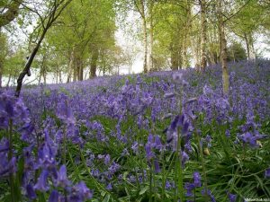 Bluebell wood, hyacinthoides non scripta, native sopecies, managed woodland, bulbous perennial, bluebells