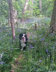 Bluebell wood, border collie, hyacinthoides non scripta, native sopecies, managed woodland, bulbous perennial, sharpe, bluebells