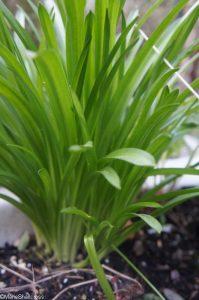 Bluebell foliage, hyacinthoides non scripta, native sopecies, bulbous perennial, bluebells