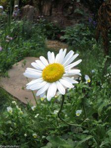 daisy, world horse welfare garden, artisan gardens, RHS Chelsea Flower Show 2017
