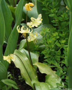 erythronium pagoda, erythronium tuolumnense, dogs tooth violet, woodland flower, spring flowering bulb