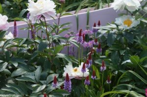 silk road garden, peonies & primula, show gardens, RHS Chelsea Flower Show 2017