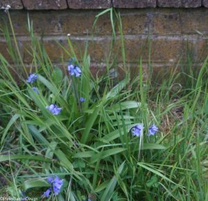 Bluebells, bulbous perennial, bluebells, spanish bluebell, hyacinthoides hispanica, hybrid bluebells, Hyacinthoides x massartiana, garden consultant