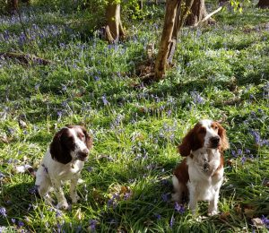 bluebell wood, springer spaniels, hyacinthoides non scripta, native species, managed woodland, bulbous perennial, bluebells, welsh springer spaniel, english springer spaniel