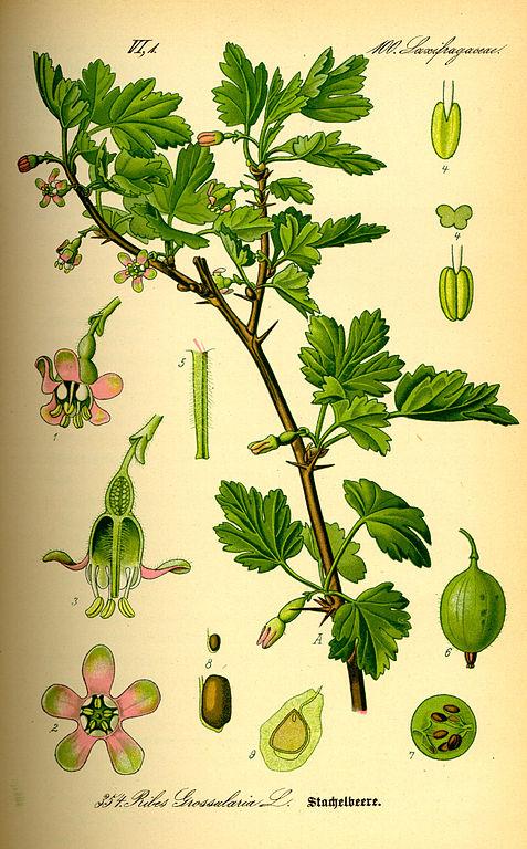 Gooseberry, Ribes uva-crispa, Original book source: Prof. Dr. Otto Wilhelm Thomé ''Flora von Deutschland, Österreich und der Schweiz'' 1885, Gera, Germany