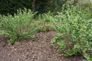 gooseberry bushes, gooseberry, mulch, ribes uva-crispa, flower buds, ribes glossularia
