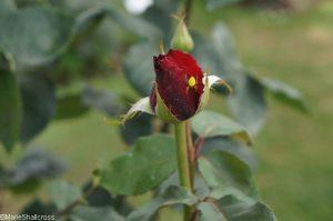 hacienda rosebud, yellow spider, roseto di roma, roseto comunale, italy, rome