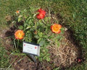 rosa chacok, roseto comunale, rome, rose garden, italy