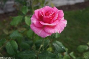 rosa princess alexandra, roseto di roma, rome, rose garden, italy