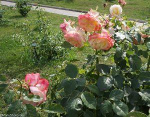 rose athena, roseto di roma, roseto comunale, italy, rome