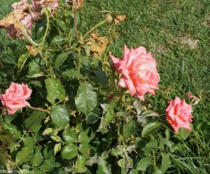 rose glamour, roseto communale, rome, rose garden, italy