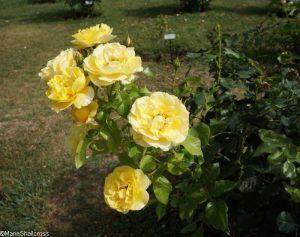 rose l'academie d'orleans, roseto communale, rome, rose garden, italy