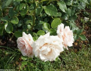 rose majestic, roseto communale, rome, rose garden, italy