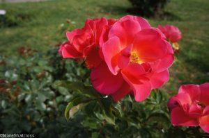 rose melusine, roseto di roma, roseto comunale, italy, rome