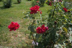 rose parfum de nuit, roseto communale, rome, rose garden, italy