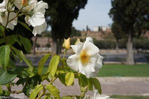 rose sally holmes, roseto communale, forum in background, rome, rose garden, italy