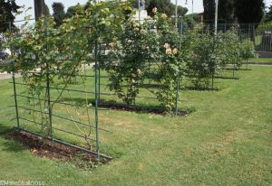 roses trained on supports, metal trellis, roseto communale, rome, rose garden, italy