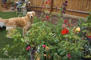 Saffy posing with the plants, planting, garden design, plantng design, garden project, dog friendly gardens, golden retriever, garden project, ornamental edible garden