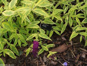 buddleia davidii santana, Holehird Gardens, lake district, cumbria, lakeland horticultural society