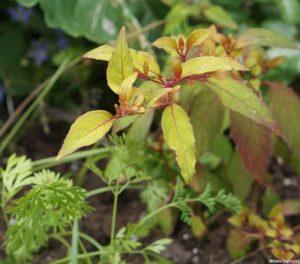 carrots growing next to fuschia 'golden mountain', golden foliage, deciduous shrub, ornamental edible garden