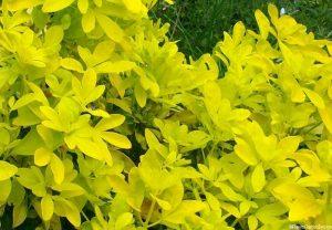 choisya ternata 'sundance', evergreen shrub, aromatic foliage, golden foliage, yellow foliage, white scented flower