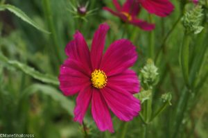 dark pink cosmos, annual flowers, feathery foliage