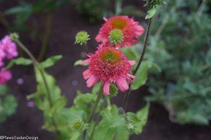 echinacea double scoop, herbaceous perennial, ornamental edible garden