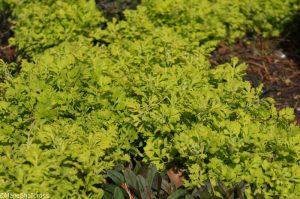golden feverfew, tanacetum perthenium aureum, perennial herb, aromatic foliage, golden foliage