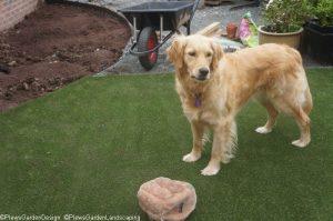 golden retriever, artificial grass, flower borders, garden designer, garden project, landscape gardener, ornamental edible garden, dog friendly garden, saffy