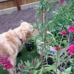 planting borders, ornamental edible garden, garden designer, garden desgn, golden retriever, planting design, garden project, dog friendly garden, planting design